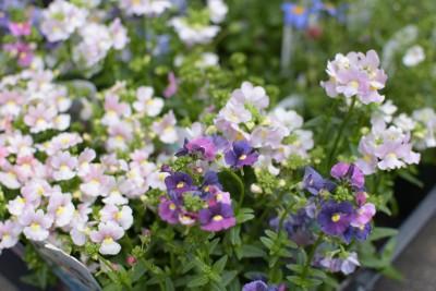 奈良王寺雑貨屋ぎんのいす2016春お花ネメシア